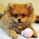 How Much Does a Pomeranian Dog Cost?