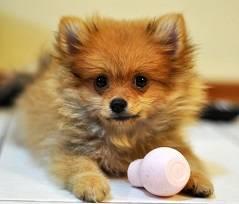 rp_pomeranian-puppy-cost.jpg