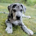 How Much Does a Great Dane Puppy Cost?