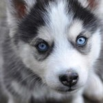 Do Pomskies Shed? And Other Important Pomsky Questions Answered
