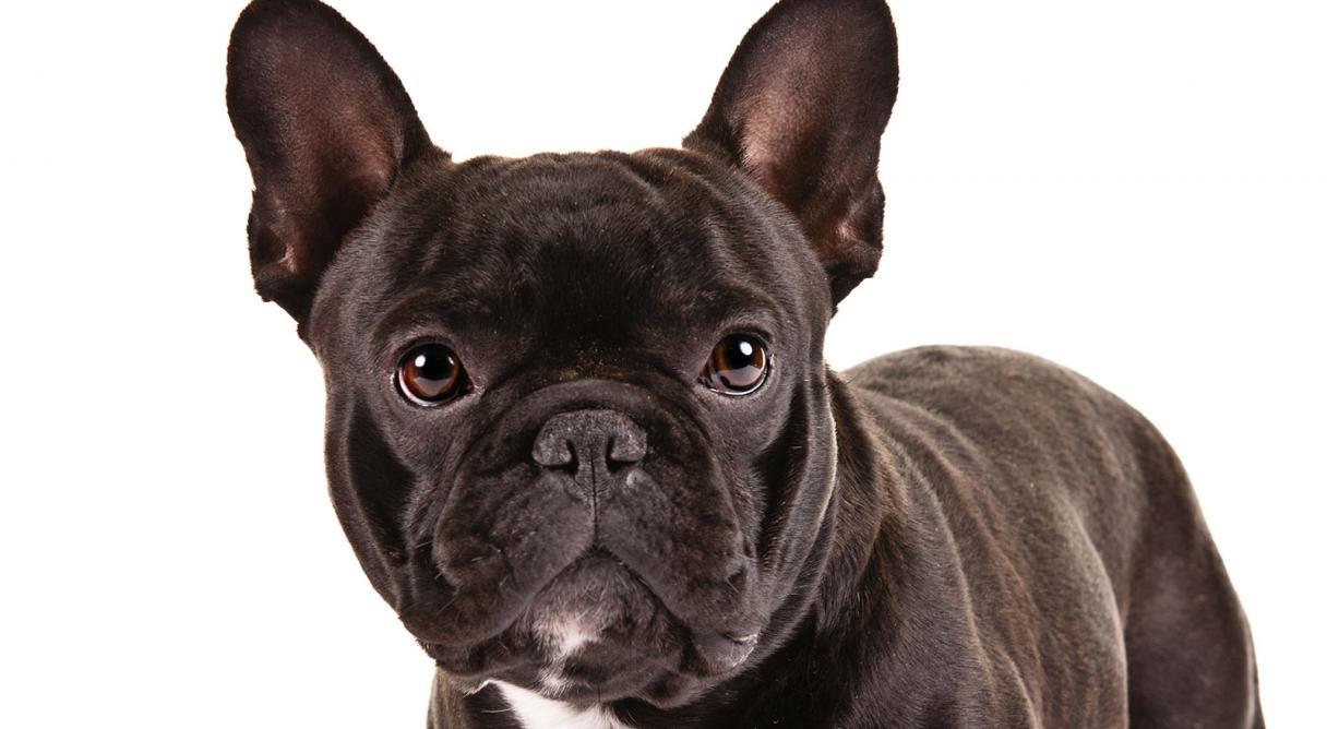 Dog Breed That Looks Like A Pug