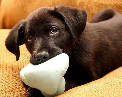 labrador-puppy-black