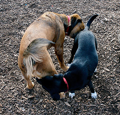 why-dogs-sniff-each-others-butts