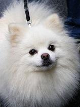 Do-Pomeranians-Shed
