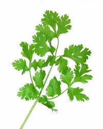 rp_can-dogs-eat-cilantro.jpg