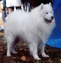A sparkling white coat is typical for Samoyed dogs.