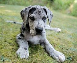 A Great Dane puppy.