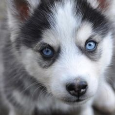 A blue eyed Pomsky in all its cuteness.