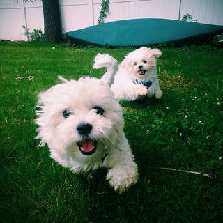 Teddy Bear dogs Winnie and Casper playing outside. Picture take by Patrick.