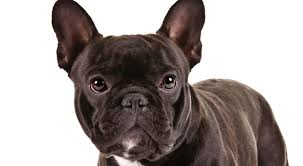 dogs-that-look-like-pugs-1-french-bulldog