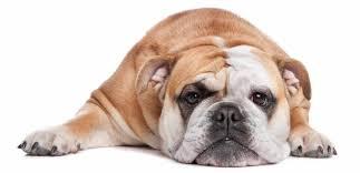 dogs-that-look-like-pugs-2-english-bulldog