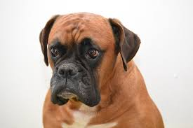 dogs-that-look-like-pugs-3-boxer