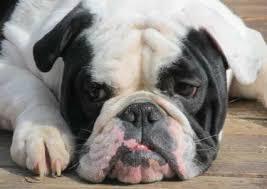 dogs-that-look-like-pugs-5-olde-english-bulldogge