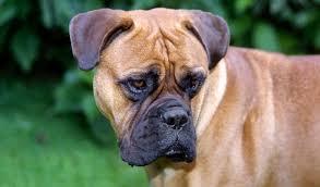 dogs-that-look-like-pugs-7-bullmastiff